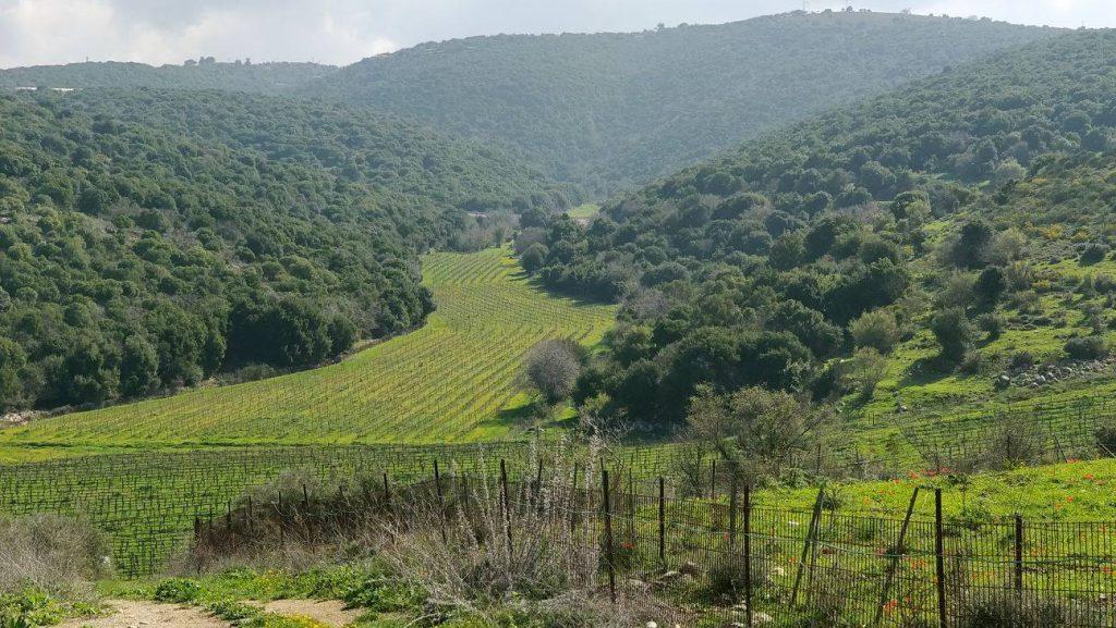 Dalton Winery's Vineyard in the Galilee Region in Israel