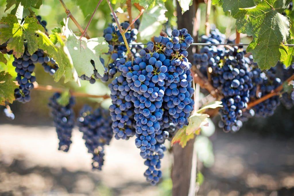 Cluster of Grapes at a Vineyard